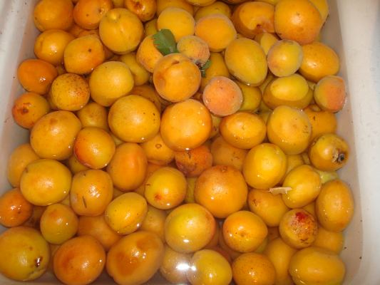 Washing the apricots for use in this home canning recipe for apricots and other fruits.
